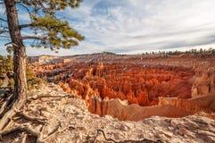 Pinheiro velho no lado da área do ponto do por do sol em Bryce Canyon Fotos de Stock Royalty Free