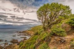 Pinheiro velho torcido no litoral de Córsega Fotos de Stock