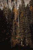 Pinheiros altos bonitos em uma floresta fotos de stock royalty free
