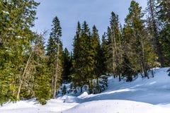 Pinheiros altos no alto-Tatras, Eslováquia fotografia de stock royalty free