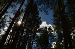 Pinheiros ao céu azul à vista dos raios do sol Fotografia de Stock Royalty Free