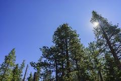 Pinheiros bonitos com céu azul Foto de Stock