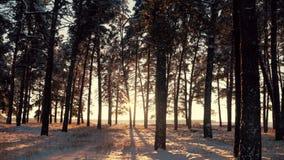 Pinheiros cobertos com a neve no dia gelado Paisagem fantástica do inverno Sun na madeira entre as tensões das árvores dentro video estoque