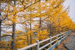 Pinheiros coloridos amarelos do outono, vista da linha 5a estação de Fuji Subaru, Japão fotografia de stock