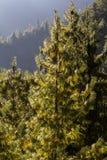 Pinheiros com os cones na manhã ensolarada Nepal, Himalaya foto de stock