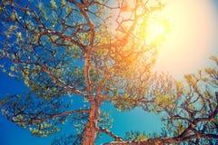 Pinheiros contra o céu azul fotografia de stock royalty free