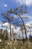 pinheiros curvados curiosos Foto de Stock Royalty Free