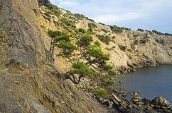 Pinheiros da relíquia no litoral crimeia Foto de Stock