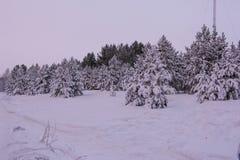 Pinheiros do abeto vermelho da paisagem do inverno Foto de Stock