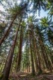 Pinheiros do baixo ângulo da cena da floresta na primavera fotografia de stock