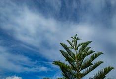 Pinheiros e céu azul brilhante Fotografia de Stock