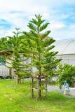 Pinheiros e céu azul brilhante Imagem de Stock Royalty Free