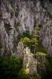 Pinheiros e rochas pretos Fotografia de Stock