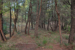 Pinheiros em uma floresta Fotos de Stock