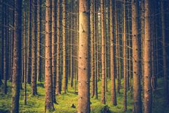 Pinheiros Forest Pattern imagens de stock royalty free