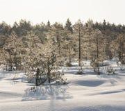 Pinheiros gelados no pântano cedo na manhã foto de stock royalty free