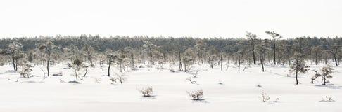 Pinheiros gelados no pântano cedo na manhã imagem de stock
