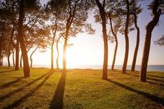 Pinheiros na costa de mar no por do sol Fotografia de Stock