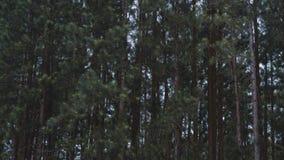 Pinheiros na montanha imagens de stock