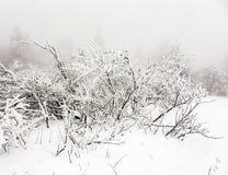 Pinheiros na neve na frente de um blizzard Fotos de Stock Royalty Free