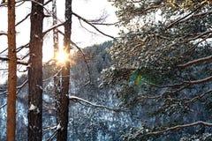 Pinheiros na neve nos raios do sol de ajuste Foto de Stock Royalty Free