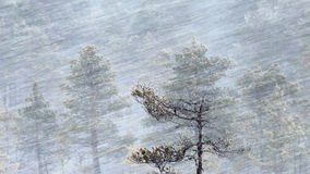 Pinheiros na queda de neve Foto de Stock