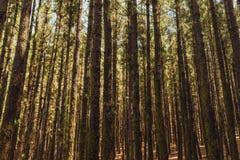 Pinheiros no La Esperanza da floresta imagem de stock
