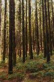 Pinheiros no La Esperanza da floresta fotos de stock