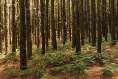 Pinheiros no La Esperanza da floresta foto de stock royalty free