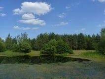 Pinheiros no lakeshore Imagens de Stock