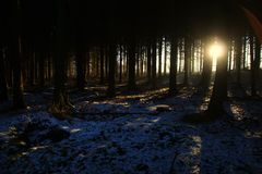 Pinheiros no nascer do sol tão aventuroso e agradável imagens de stock royalty free