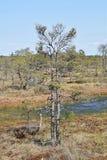 Pinheiros que crescem águas próximas em um pântano Foto de Stock