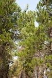 Pinheiros que crescem em uma plantação Fotografia de Stock