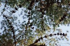 Pinheiros que crescem em uma plantação Imagem de Stock