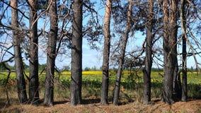 Pinheiros que estão na perspectiva de um campo dos girassóis e de um céu azul fotografia de stock