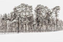 Pinheiros sob a neve Foto de Stock