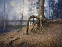Pinheiros velhos com raizes desencapadas, desajeitadas em uma floresta nevoenta místico fotografia de stock