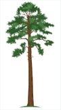 Pinho-árvore do vetor Imagem de Stock