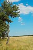 Pinho-árvore e campo. Fotos de Stock Royalty Free