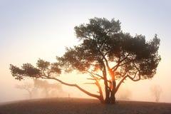 Pinho-árvore no nascer do sol Foto de Stock Royalty Free