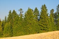 Pinho-árvores Foto de Stock
