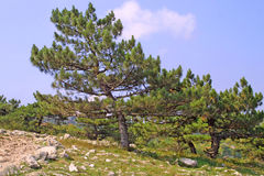 Pinho-árvores em uma inclinação de montanhas Fotografia de Stock