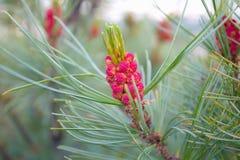 Pinho élfico com cones roxos Foto de Stock Royalty Free