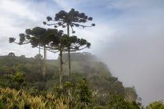 Pinho brasileiro do angustifolia da araucária em um dia nevoento em Aparados a Dinamarca Serra National Park - Rio Grande do Sul, imagens de stock royalty free