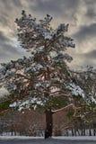 Pinho coberto com a neve fotografia de stock