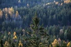 Pinho com os cones do pinho no fundo da floresta em Karkonosze, Imagem de Stock Royalty Free