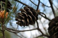 Pinho-cone marrom grande em um ramo de uma árvore imagem de stock