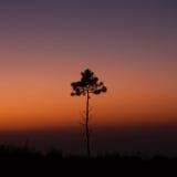 Pinho da árvore no por do sol Foto de Stock