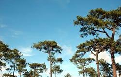 Pinho da floresta Imagens de Stock Royalty Free