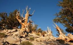 Pinho de Bristlecone no bosque de Methuselah fotografia de stock